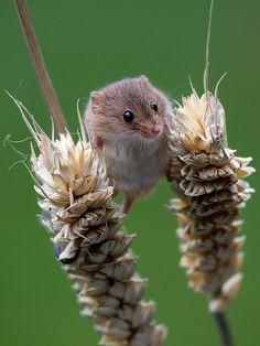 harvest mouse british wildlife centre,uk autumn england nature animals fauna digital mouse corn wildlife surrey