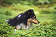 this place is called the grass valley, but the... - Sparta the Sheltie