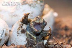 Yellow-bellied slider turtle (Trachemys scripta)