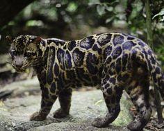 Bornean Clouded Leopard or Sundaland clouded leopard(Neofelis diardi) also [Neofelis nebulosa diardi] Majestic Animals, Rare Animals, Animals And Pets, Extinct Animals, Pretty Cats, Beautiful Cats, Animals Beautiful, Big Cats, Cool Cats