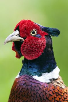 "h4ilstorm: "" Pheasant (by Jonsfotos) ""                                                                                                                                                                                 More"
