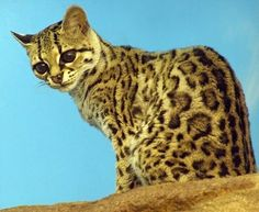"""The Margay is a spotted cat native to Middle and South America. Named for Prince Maximilian of Wied-Neuwied, it is a solitary and nocturnal animal that prefers remote sections of the rainforest. Although it was once believed to be vulnerable to extinction, the IUCN now lists it as """"Near Threatened"""". It roams the rainforests from Mexico to Argentina."""