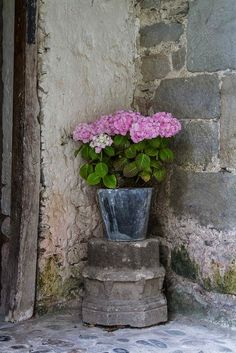 Pot of pink hydrangeas