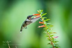 Male Ruby-throated Hummingbird by AnthonyLe2 via http://ift.tt/2dpymrE