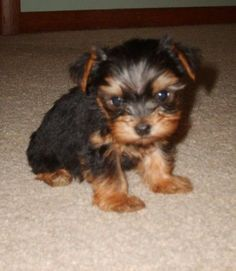 Yorkshire Terrier Puppies For Sale Pets For Sale, Puppies For Sale, Cute Puppies, Yorkshire Terrier For Sale, Yorkshire Terriers, Cute Puppy Breeds, Bulldog Breeds, Dog Whistle, Yorkie Puppy