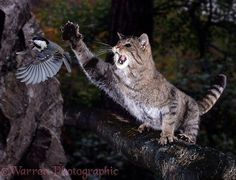 Wild Cat swiping at a Coal Tit photo - WP08350
