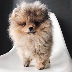 dogs, pets, pom, pomeranian #Pomeranian