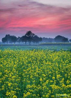Brilliant photography of Mustrad fields in Nanakpur Khaniwal Punjab Pakistan