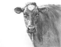 Black Beauty the Cow, conte/drawing paper 20 x 26 inch (50 x 65 cm) © 2009…