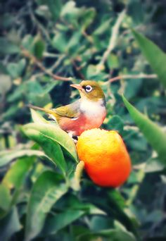 So many of these birds in our backyard, munching on our mandarins. The Beautiful Country, Art Portfolio, Art Forms, New Zealand, Nativity, Scenery, Wildlife, Backyard, Birds