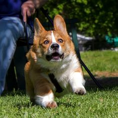 Check Out Corgi Facts Dog Breeds Cute Corgi Puppy, Corgi Dog, Cute Puppies, Cute Dogs, Dogs And Puppies, Puppy Meme, Silly Dogs, Pomeranian Puppy, Husky Puppy