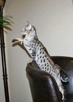 Sparkle F3 Savannah #savannahcats #exoticcats #cats