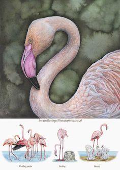 IL·LUSTRACIÈNCIA: Greater flamingo - Marina durante