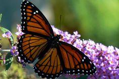 Monarch butterfly on a Butterfly Bush