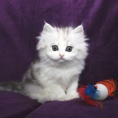 Ragamuffin Cat For Sale Australia