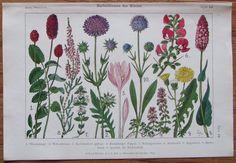 HERBSTBLUMEN DER WIESE 1916 Original Farbdruck Antique Print Lithographie