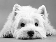 West Highland White Terrier 写真プリント