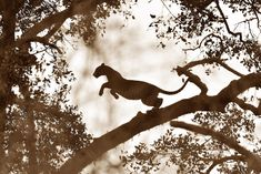 Yala National park of Sri Lanka is best known for leopards, but of course very difficult to get them in action. This is one of the well grown three cubs got excited and started jumping between branches. I got it against the light within fraction of a second. (© Lalith Ekanayake)