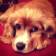 Sasha Cocker Spaniel, King Charles Cavelier Cross | Pawshake