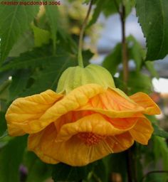 Full size picture of Abutilon, Flowering Maple 'Frieda' (<i>Abutilon</i>)