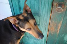 Mom, open the door now. Doberman Shepherd, Mom, Pictures, Animals, Animais, Animales, Photos, Animaux, Photo Illustration