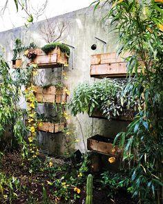 Jardin 2015 ! Ça pousse ! #maple #japanesemaple #erable #japon #wood #woodworking #menuiserie #amarehorto