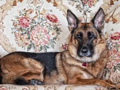 … on an official portrait and royal merchandising German Shepherds, German Shepherd Dogs, Your Dog, Poems, Bunny, Thoughts, Princess, Portrait, Quotes