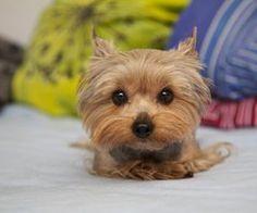 123 Mejores Imágenes De Perritos Pequeños Cute Puppies Cute Dogs