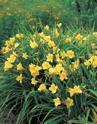 All good Southern gardens have daylilies! Very easy to grow, and spreads. -Ali C.
