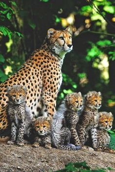 Cheetah Mom ~ With Her Cubs,