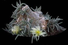 | Phyllobolus resurgens