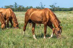 Glitserin 69 (Gasan - Lustra) 1997 Don stallion Глицерин 69(Гасан - Люстра) 1997г.р.  Донской жеребец производитель. Рождён в к/з Зимовниковский
