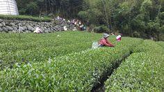 2014 Spring Tea harvest at Taiwan Mount A-li