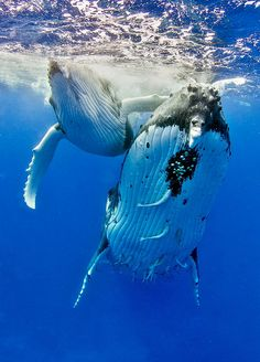 """thelovelyseas: """" Humpback Whales, female and 7 weeks old calf. Tonga by Tomas Kotouc """" full-midnight-moon Follow me on www.joselito28.tumblr.com"""