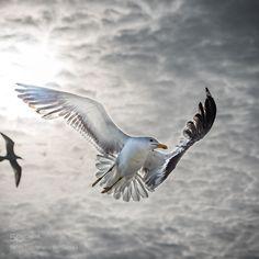 Seagull by tawnoscoffin #animals #animal #pet #pets #animales #animallovers #photooftheday #amazing #picoftheday