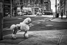 Joker, the epitome of regal, standard poodle. - His human says he walks without a lead all over the city, he's well behaved and loved by all! Apricot Standard Poodle, Standard Poodles, Sphinx Cat, Up Dog, Pink Poodle, Companion Dog, Bichon Frise, King Charles Spaniel, Dog Breeds