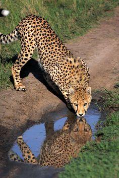 "@pinthestars ""Cheetah drinking in the Masaai Mara."""
