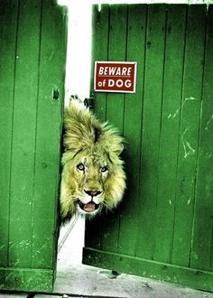 Beware of dog Lion ;)