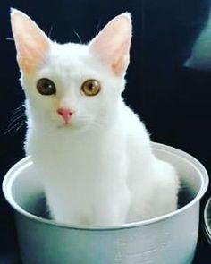 It's not a box, but it fits, so I sits! Submitted by: Trinidad Dong Aragon Faborada #catlife #whitecat #catoftheday