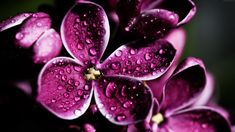 This HD wallpaper is about drops, Lilac, purple, Original wallpaper dimensions is file size is Purple Flowers Wallpaper, Flower Background Wallpaper, Flower Backgrounds, 8k Wallpaper, Wallpaper Backgrounds, Macbook Wallpaper, Flowers Nature, Beautiful Flowers, Realistic Flower Drawing