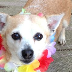 LUCKY WILL BE 17yrs old soon! Yay!! this is Lucky our eldest son! Corgi/chihuahua mix. my husband & I rescued him from an animal shelter 14yrs ago this coming Aug. 19. He was very skinny & bony before. It was his last day that day in the shelter before he goes to doggie heaven. Shelter was over crowded. We learned about this after we officially adopted him. Paperworks sign & paid for. That's why we call him Lucky! Photos shown are from his 14th doggie bday party. Yes, we have a dog party for…