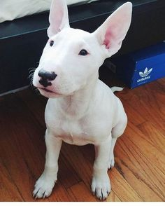 Uplifting So You Want A American Pit Bull Terrier Ideas. Fabulous So You Want A American Pit Bull Terrier Ideas. White Bull Terrier, Mini Bull Terriers, Miniature Bull Terrier, English Bull Terriers, Bull Terrier Dog, Staffordshire Bull Terrier, Perros Bull Terrier, Terrier Dog Breeds, Terrier Puppies