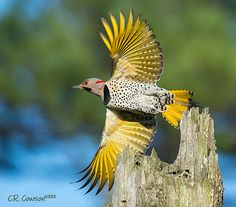 The Male Yellow-Shafted (Eastern) Northern Flicker (Colaptes auratus) - This guy loves to forage for bugs on my lawn, and I love him and his gorgeous colors. Rare Birds, Exotic Birds, Colorful Birds, Different Birds, Kinds Of Birds, Ocean Creatures, Woodland Creatures, Northern Flicker, Bird Identification