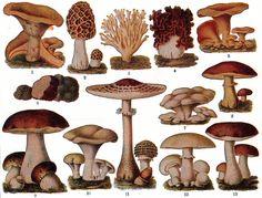 vintage mushroom chromolithograph, c. 1896 PRINTABLES & FONTS vintage mushroom chromolithograph, c. Health Benefits Of Mushrooms, Mushroom Benefits, Mushroom Art, Mushroom Fungi, Mushroom Drawing, Mushroom Hunting, Mushroom Guide, Mushroom Images, Mushroom Pictures