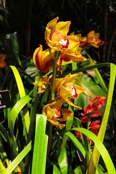 Cymbidium Moon Walk hybrid. Not all of the orchids in the exhibit originate from Latin America - the Cymbidium genus is found in Asia and Australia.