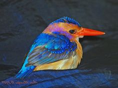 Kingfisher, African Pygmy  Ispidina picta  also Ceyrx pictus  Found: Africa