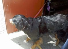 This beautiful Bernese mountain dog hangs out in a store in Old City. Very sweet and friendly to all.