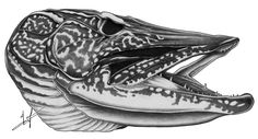northern pike drawings | Northern Pike Skull