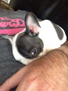 Emma french bulldog frenchie