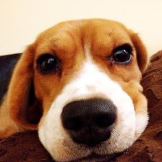 beagle stare down--- seen this face many times before... haha